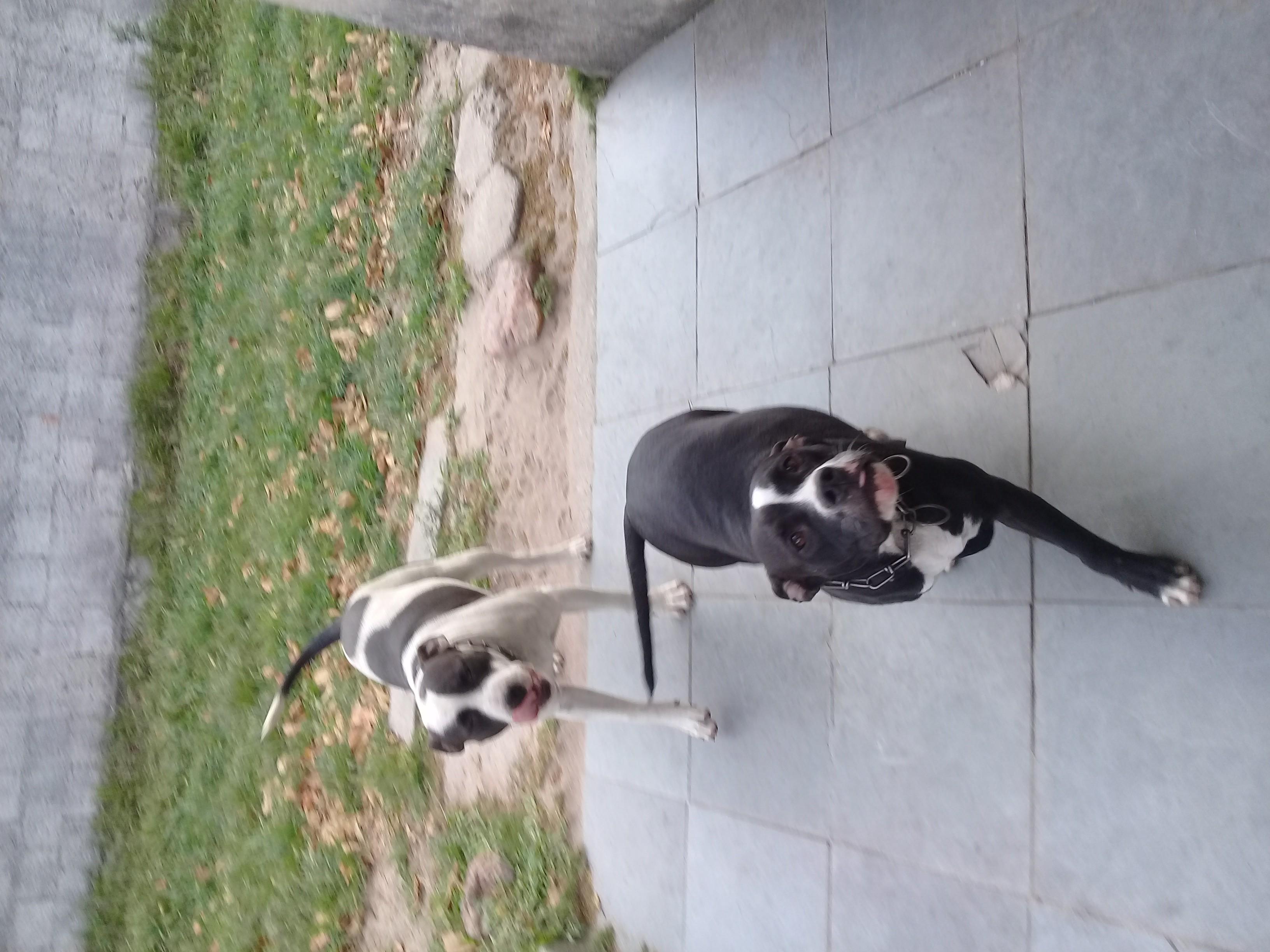 Lindos filhotes cães  pit bull american