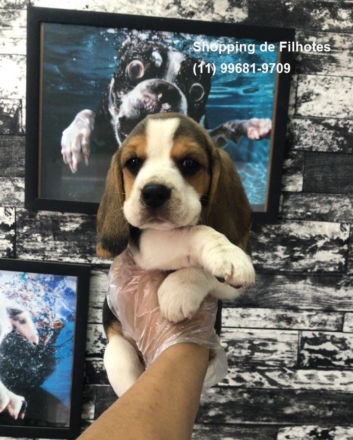 Beagle mini filhotes de alto padrão com procedência