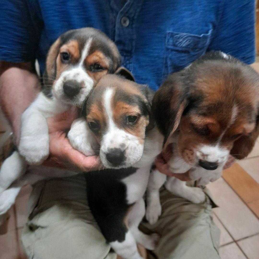 Filhotes beagles tricolores 13polegadas