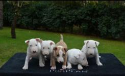 Bull terrier machos e fêmeas padrão CBKC (11)2369-3829