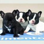 Bulldog Frânces machos e fêmeas linhagem campeã (11)95932-0322