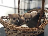 Chihuahua cores exóticas a pronta entrega (11)2369-3829 (11)95932-0322