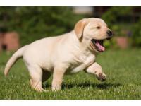 Labrador amarelo/preto/chocolate a pronta entrega (11)95932-0322