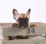 Bulldog Francês com vacina, contrato e pedigree (chama no whats)