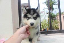Husky Siberiano com garantia de saúde, contrato, pedigree e vacina