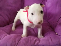 Bull Terrier com garantia de saúde, contrato, pedigree e vacina