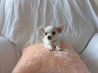 Chihuahua com garantia de saúde, contrato, pedigree e vacina
