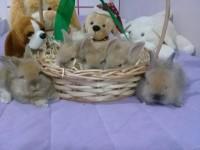 Filhotes coelhos Mini Lion