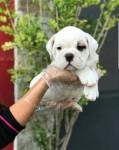 Bulldog Inglês temos 8 clinicas para atender o seu filhote, 6 meses gratuito 947920761