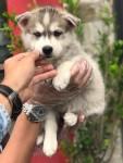 Husky Siberiano todos com pedigree e suporte veterinario (11) 947920761