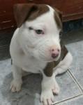Pitbull rednose/ black/ blue, machos e fêmeas padrão gigante, com garantia e suporte vet, , contato (11) 947920761