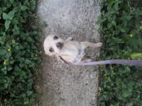 Chihuahua fêmea minuscula