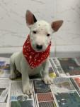 Bull terrier com garantia de saúde em contrato a pronto entrega. (11)9.7796.1054