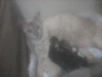 Filhotes de gato SRDdoa-se